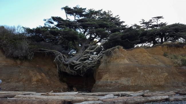 Northwest Pearls: Tree Cave
